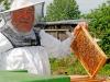 Imker mit Bienenwaabe